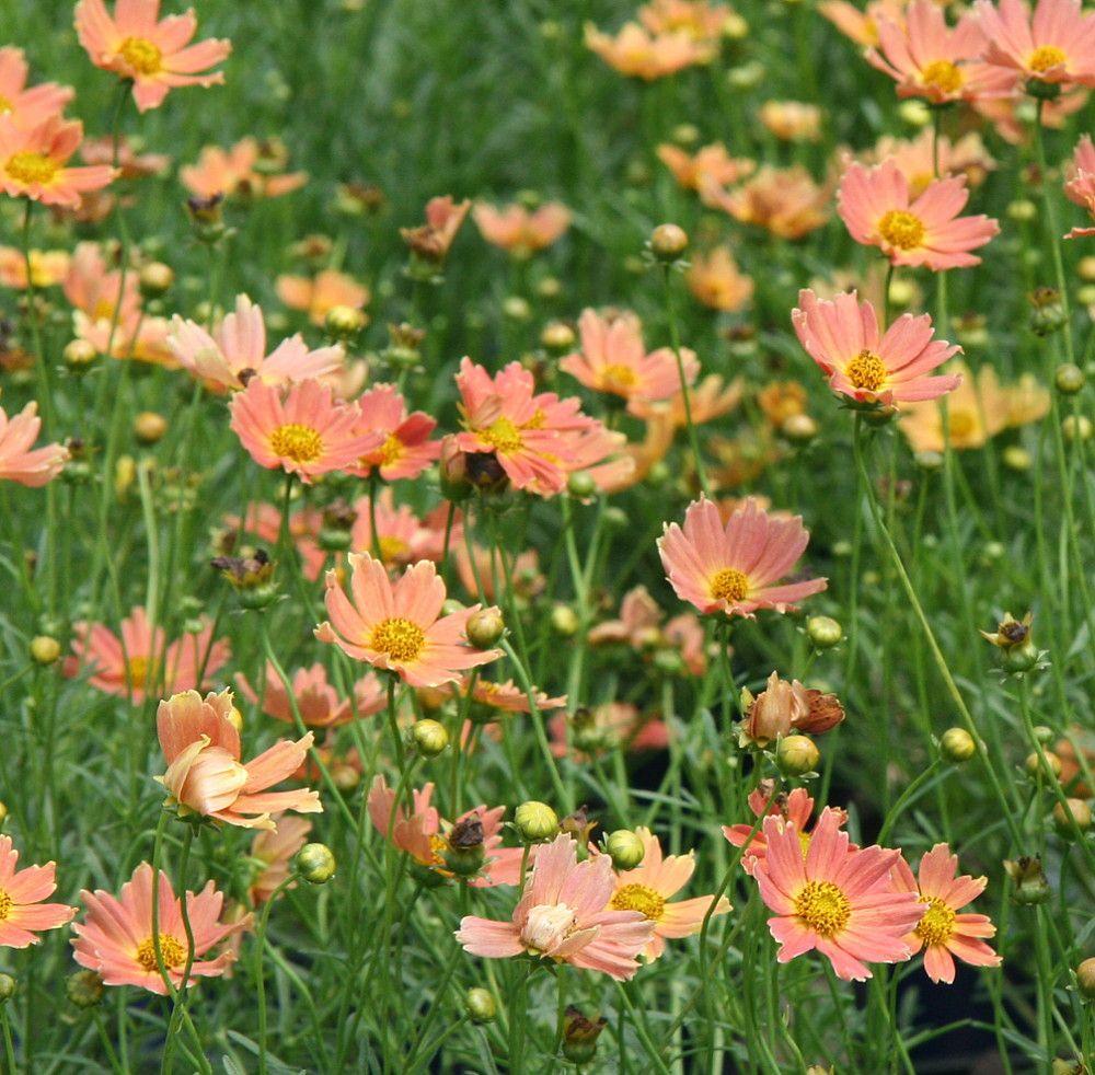 'creme Caramel' Coreopsis Perennial Plant  Drought Resistant  Gallon Pot  '