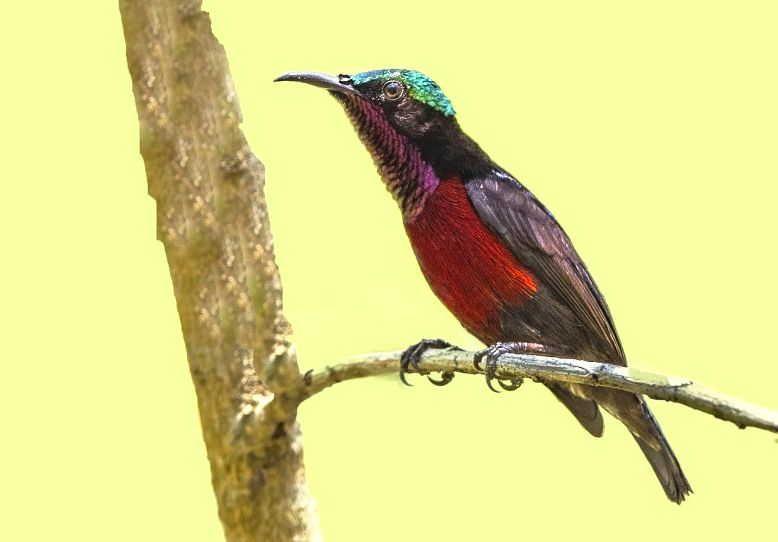 Burung Kolibri Ninja Leptocoma Sperata Birds Bird Animals