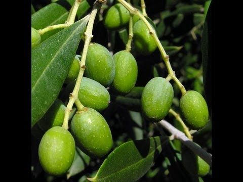 How To Grow An Olive Tree From A Pit Potted Trees Olive Plant Olive Trees Garden