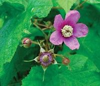Rubus odoratus Plants that are ornamental, functional, durable and, best of all, native are hard to beat. Rubus odoratus (purple flowering raspberry) is al