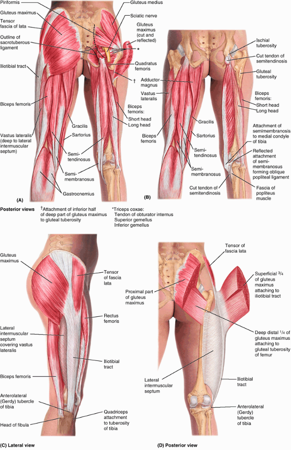 Causes Of Sciatic Nerve Pain Buttocks | Muscle anatomy for massage ...