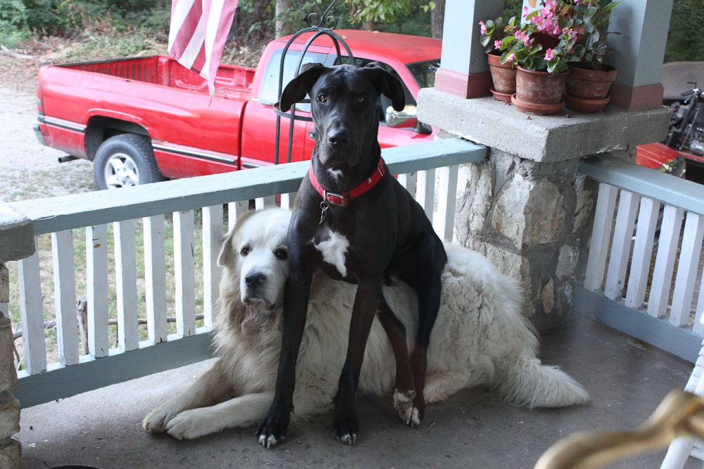 Here A Great Dane Puppy Sitting On A Great Pyrenees To Keep His