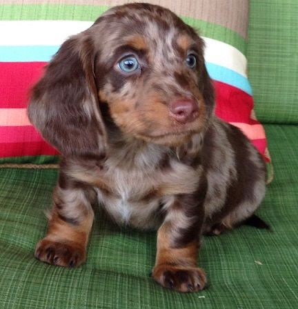 Chocolate Blue Eyed Dapple Piebald Dachshund Daschund Puppies