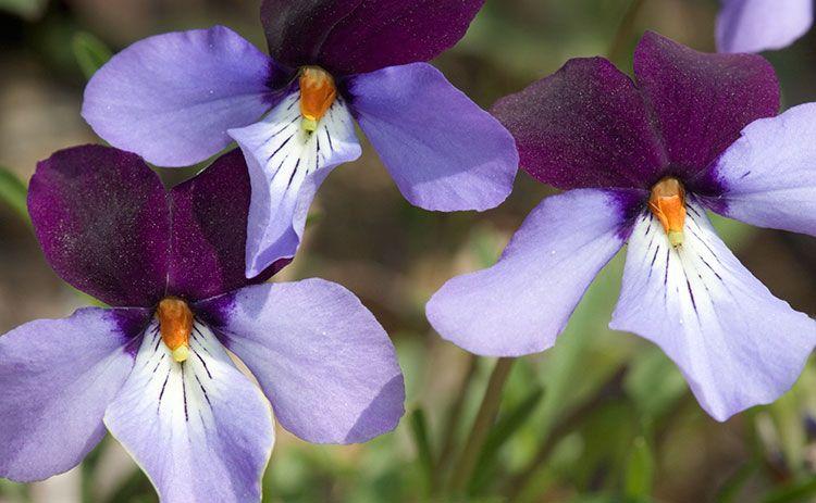 Birds Foot Violet 4861 jpg