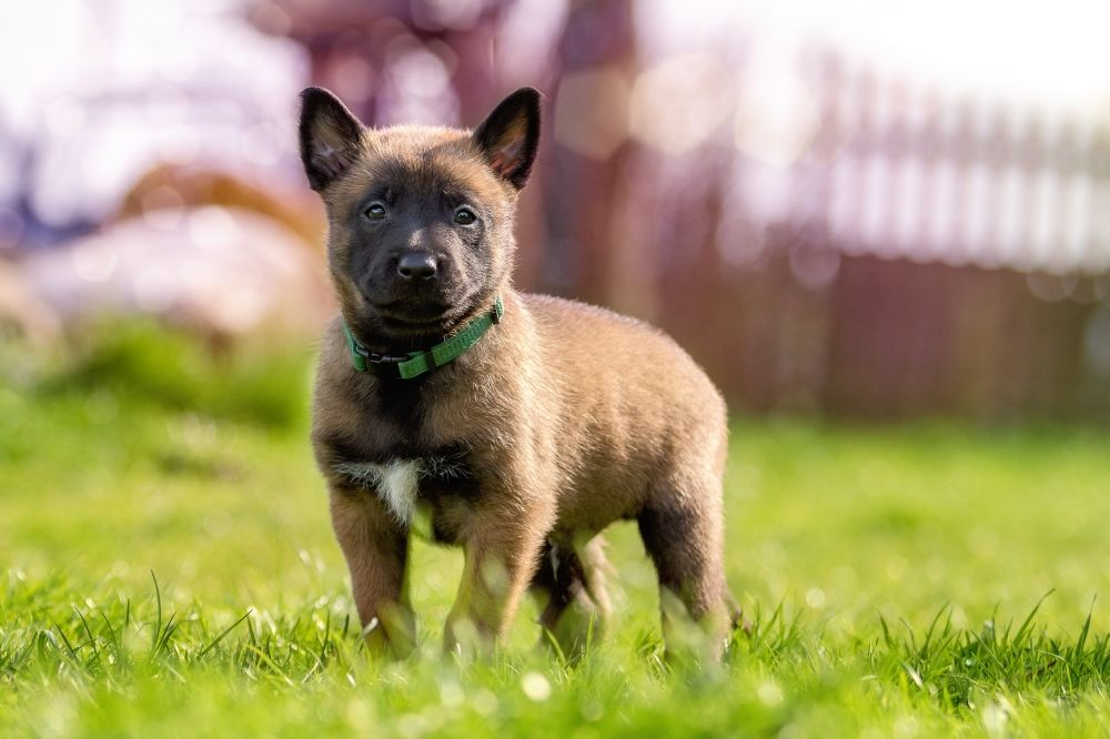 Belgian Shepherd Dog Malinois Dog Kennel Debrabandere Training Your Dog Dog Training Dog Care