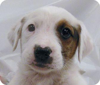 Australian Shepherd Boxer Mix Puppies Australian Shepherd Boxer Mix Puppy For Sale In Thousand Oaks