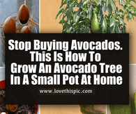 Stop Buying Avocados. This Is How To Grow An Avocado Tree In A Small Pot At Home