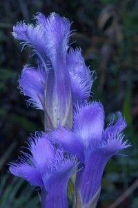 Gentianopsis crinita (Fringed Gentian)