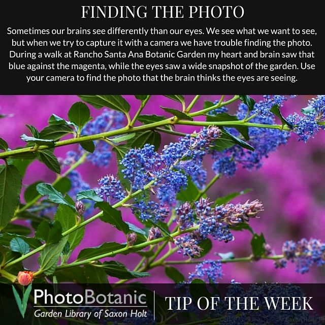 #Photography Tip of the Week! Finding the photo. | Full post at http://photobotanic.com/the-wild-lilac-photo | #photographytips #phototips #howto #gardening #garden #gardenphotography