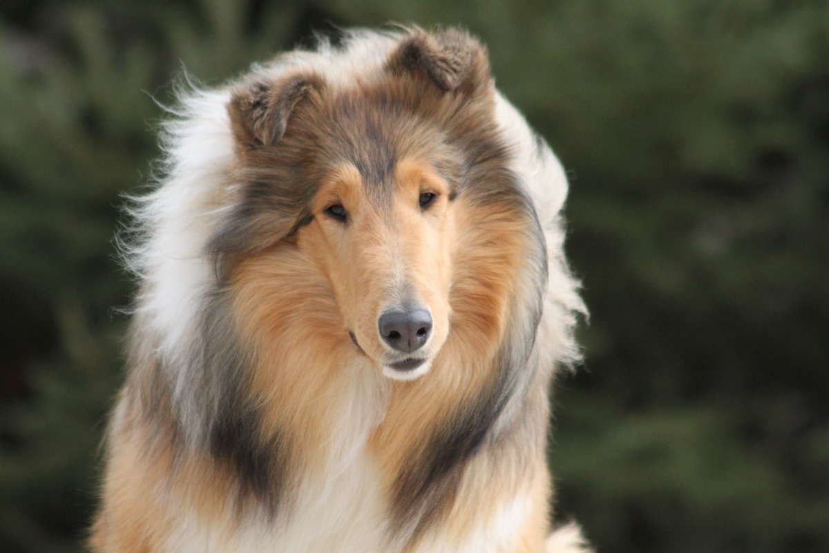 Akc Rough Collie Breeder With Champion Bloodlines In Union Lake Michigan Hoobly Classifieds Rough Collie Collie Puppies Blue Merle Collie