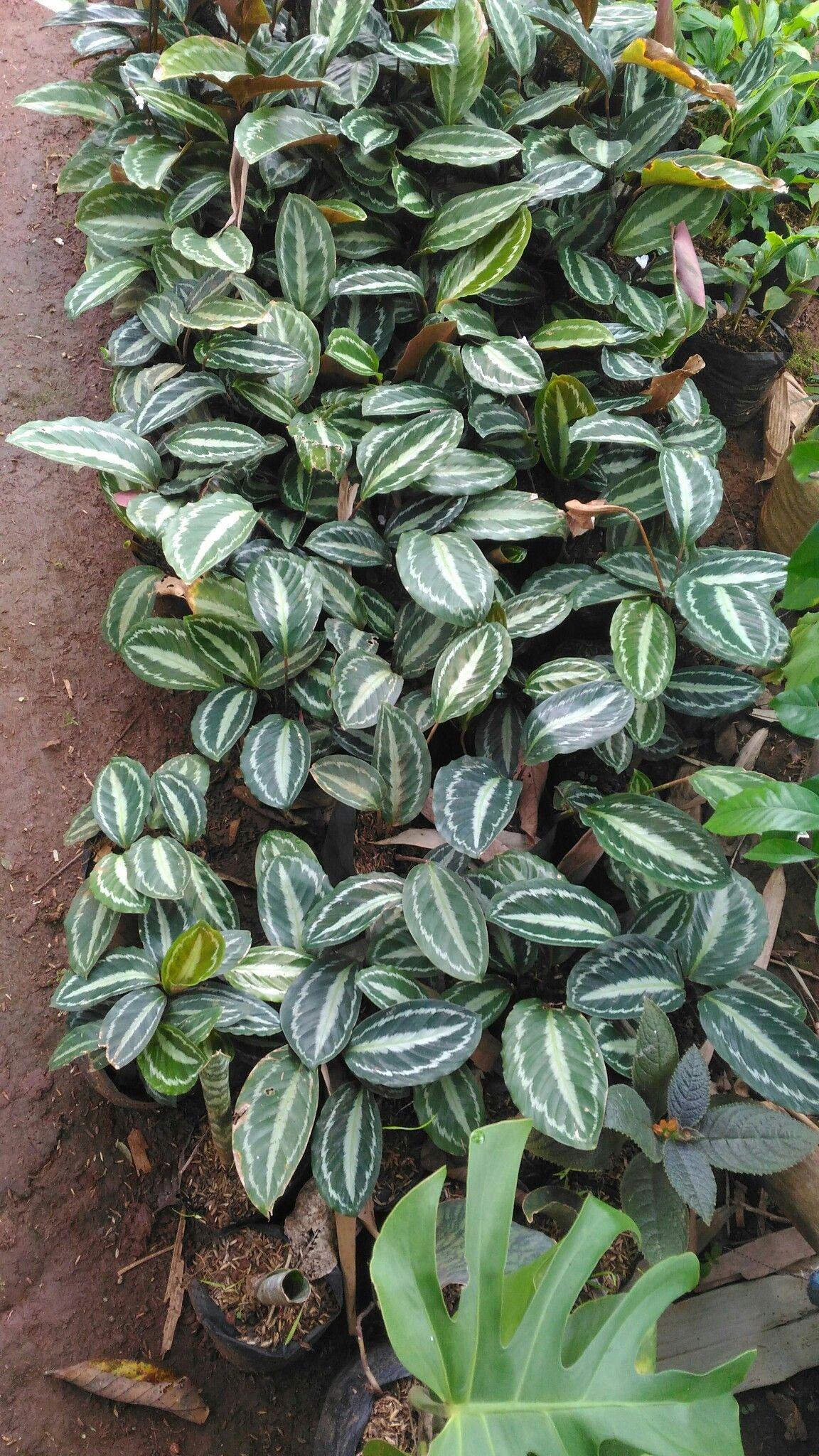 Tanaman Hias Calathea Kalatea Macan Makoyana Banyaknya Daun Dalam Media Tanam 3 S D 5 Daun Akar Kuat Dalam Media Tanam Polybag Tana Calathea Plants Pot