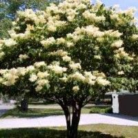 Japanese Tree Lilac Lilac Tree Trees For Front Yard Japanese Lilac Tree