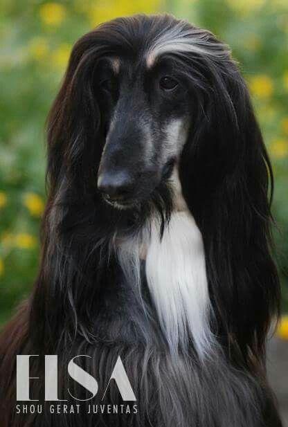 Black And Tan Afghan Hound Hound Dog Dogs