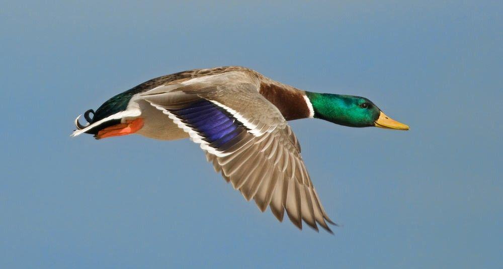 Picos, plumas y colores | Birds | Pinterest | Pato silvestre, Aguas ...