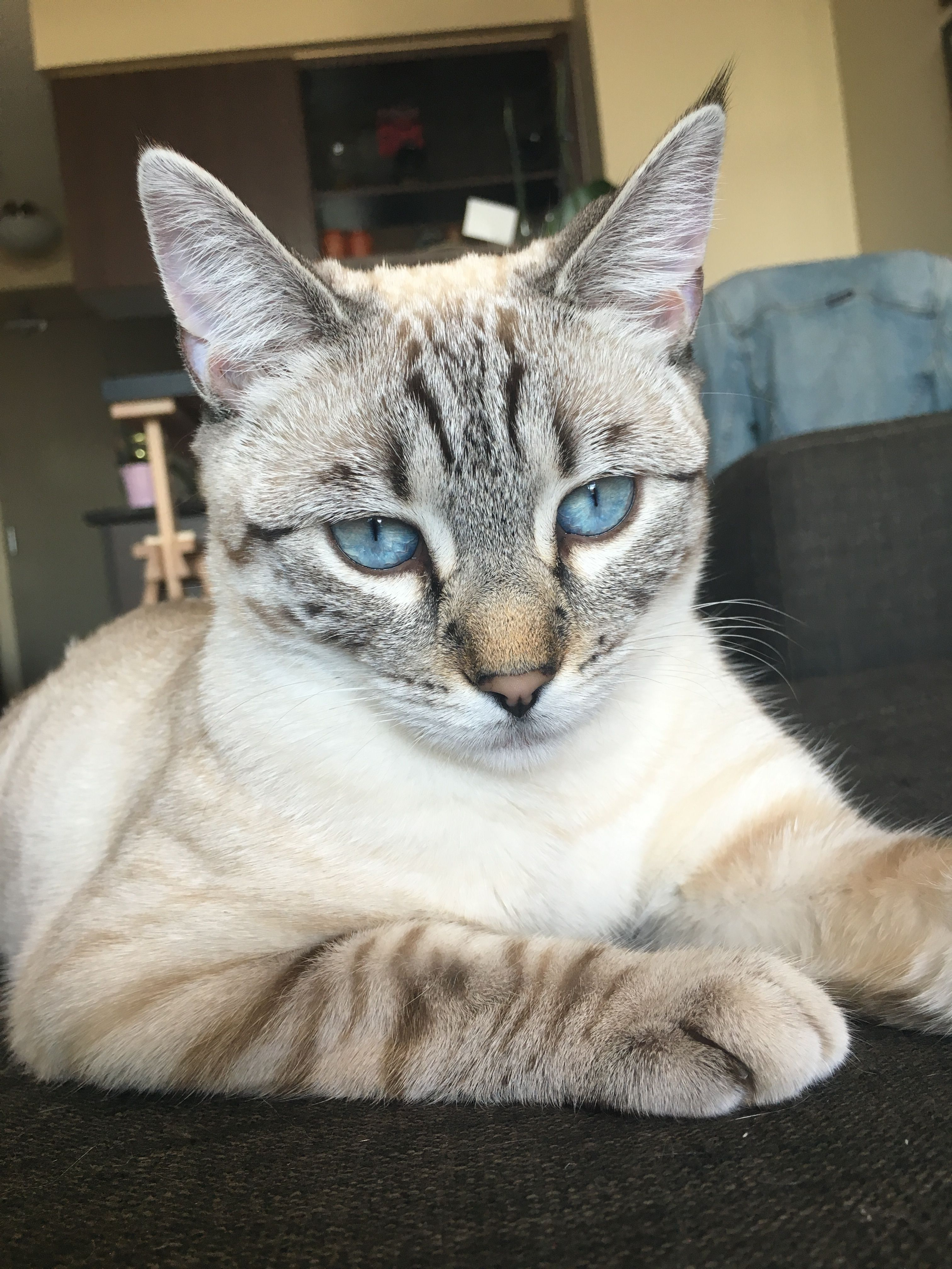 Bailey the Snow Bengal Bengal cat, Cute cats, Cats and
