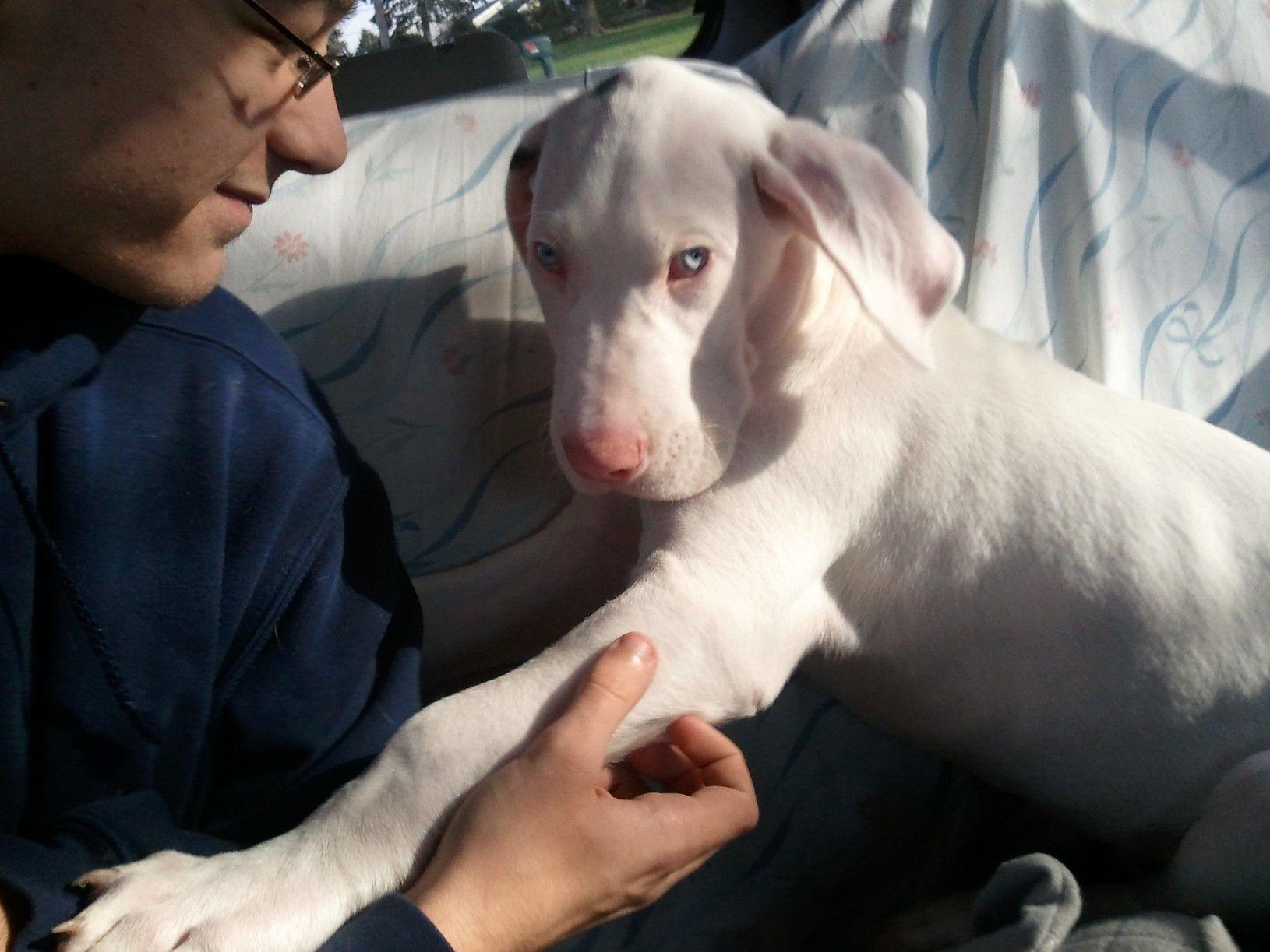 Double Merle Great Dane Pup Looks Just Like My Ferdle Baby He