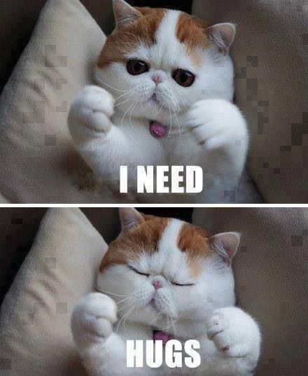 Exotic Shorthair.  Totally adorable, chunky and sooo affectionate.  Where ever you are, they want will be close by.