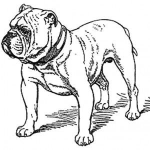 Old English Bulldog Coloring Pages Dog Coloring Page Bulldog