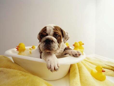 English bulldog sitting in bathtub with rubber ducks