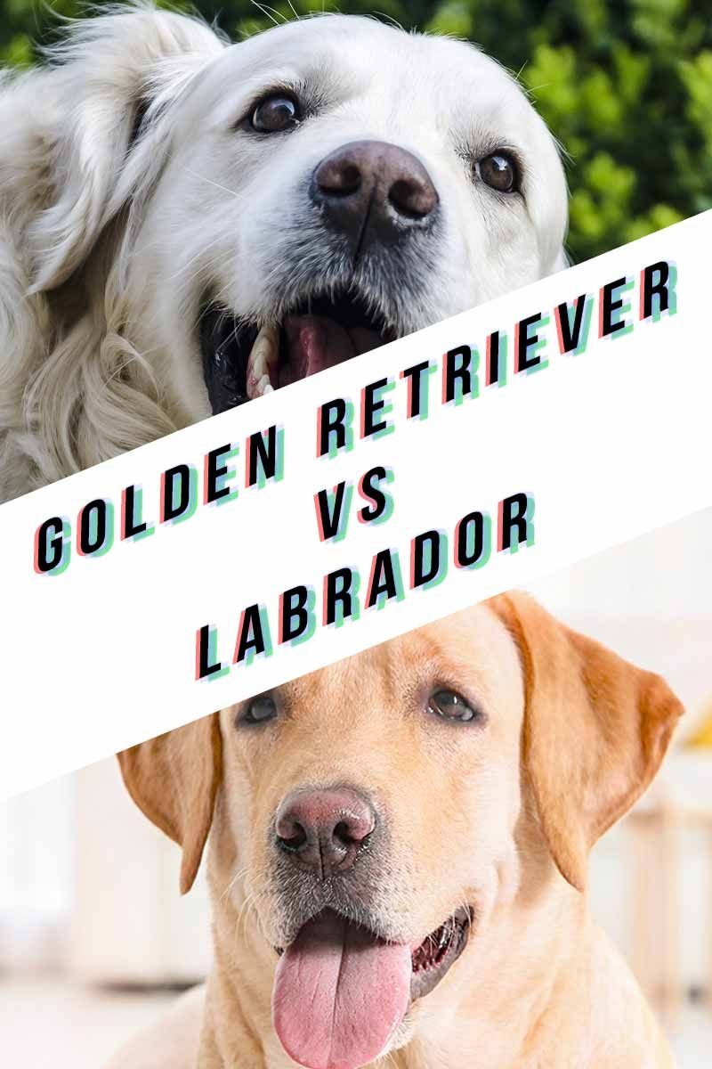 Golden Retriever Vs Labrador Dogs Golden Retriever Training