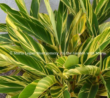 How To Prune Variegated Ginger Part Shade Plants Ginger Plant Variegated