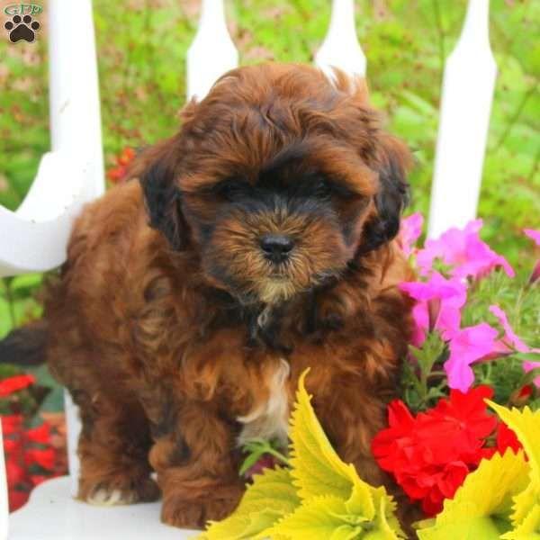 Alvin Schnoodle Puppy For Sale In Pennsylvania Shih Poo Shih Poo Puppies Schnoodle Puppies For Sale