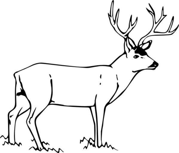 deer coloring pages to print | Stock Art Drawing Mule Deer Color ...