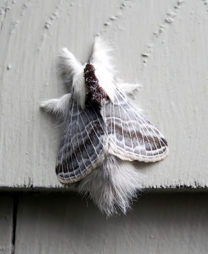 I Found This Very Unusual Hairy Moth Resting On The