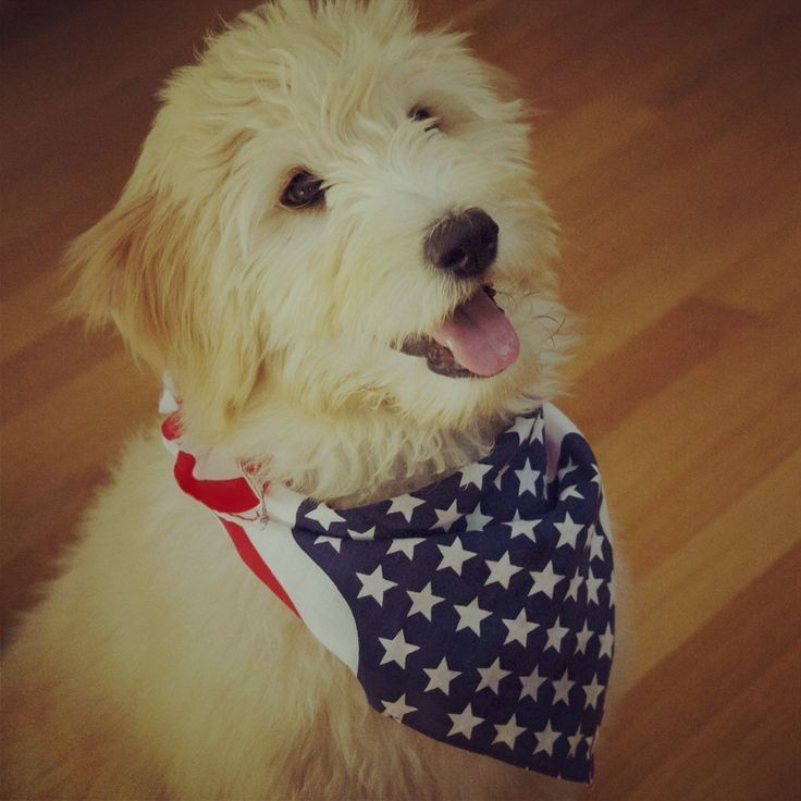 Pin by Virginia A. Witman on Goldendoodle Goldendoodle
