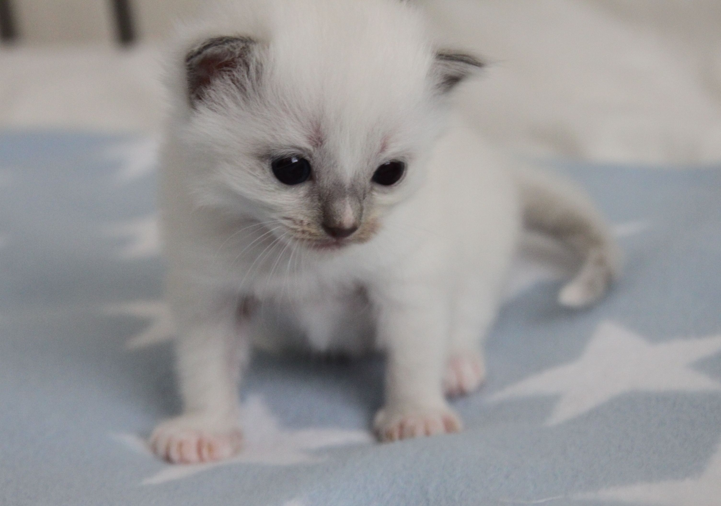 Ragdoll Baby Girl 3 Weeks Old 3 Www Ribbonsragdolls Com Ragdoll Kitten Munchkin Cat Kittens
