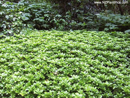 Pachysandra Terminalis Useful Low Growing Groundcover For Shade Or Full Sun In Sun Leaves Turn B Evergreen Hedging Plants Hedging Plants Ground Cover Plants