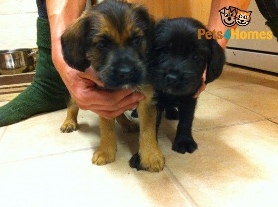 Soft Coated Wheaten Terrier X Cocker Puppies Whitchurch