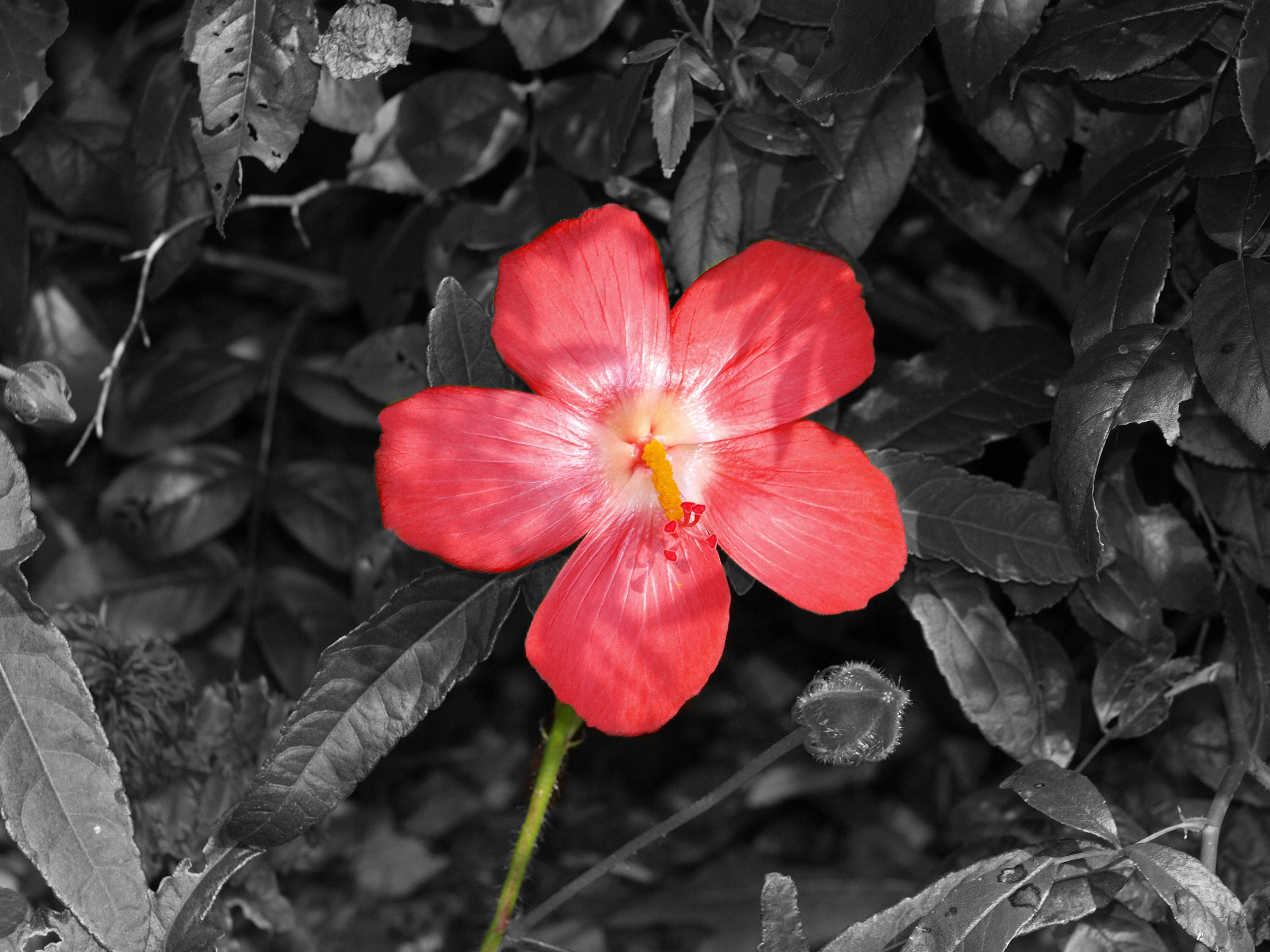 Black And White Photography With Color Flowers Images 6 Hd