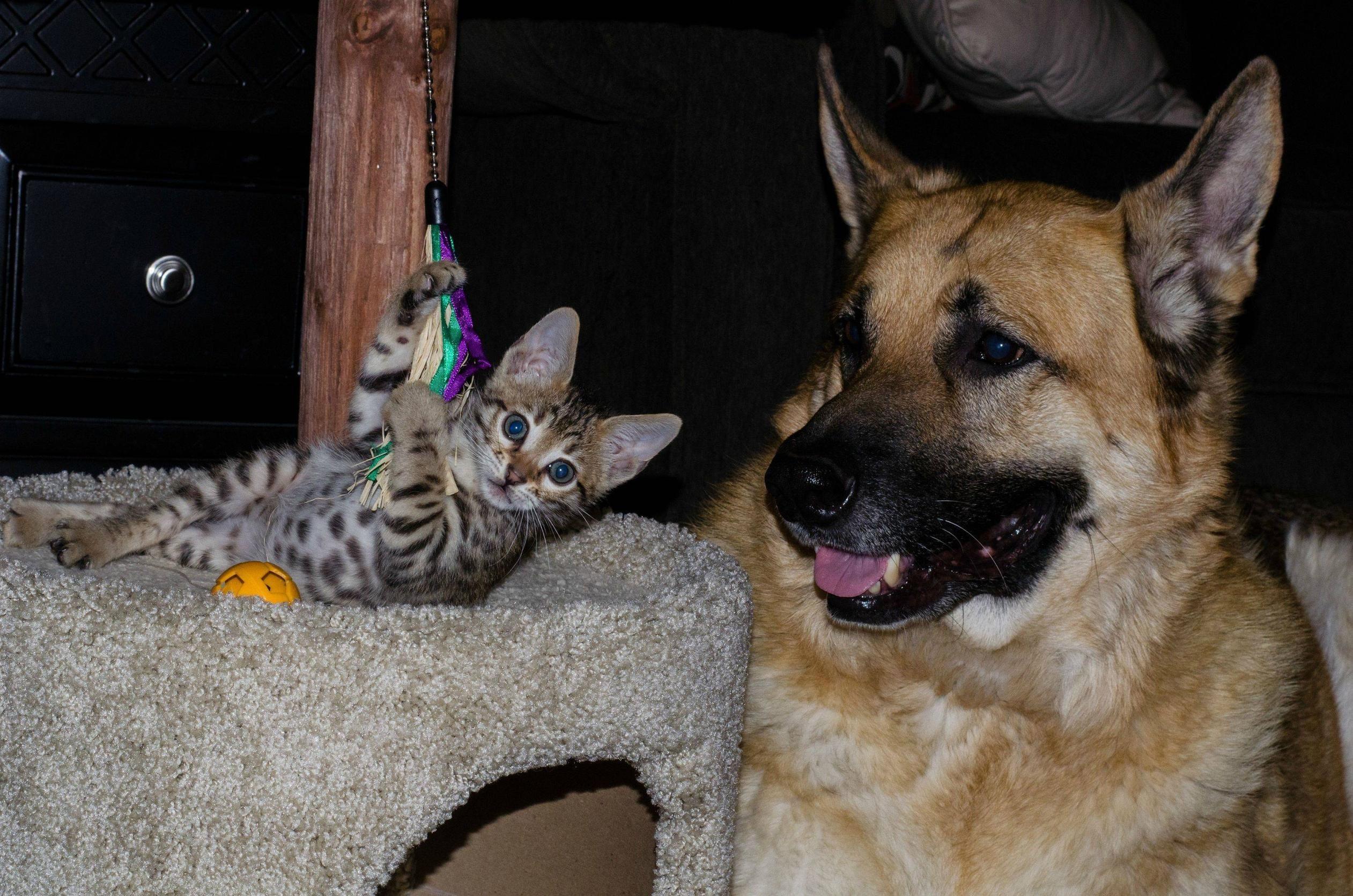 Bengal And A German Shepherd Bengal Kitten German Shepherd Puppies Dog Cat