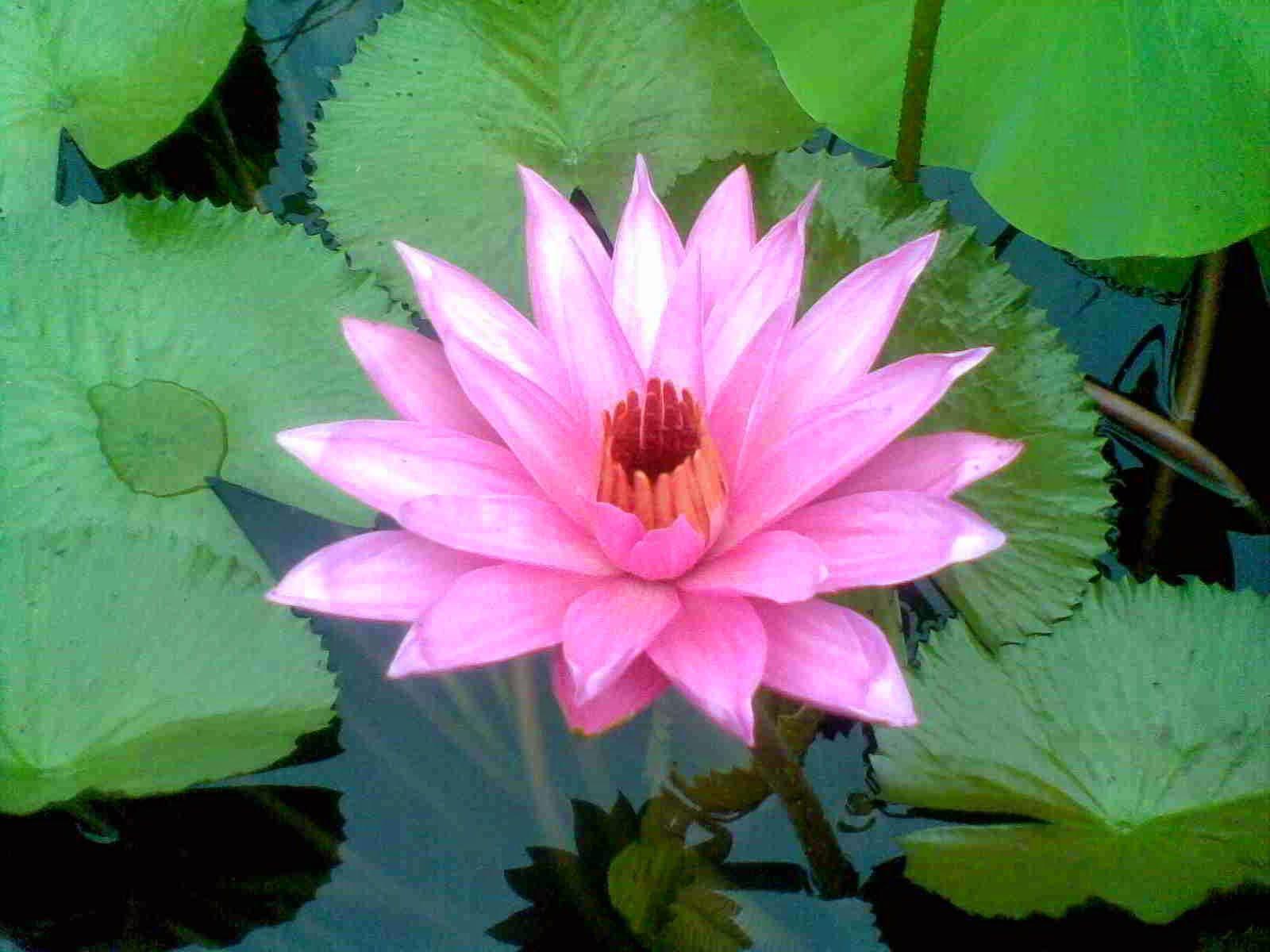 Bunga Teratai Lotus Flower Manfaat Bunga Untuk Kesehatan Flowers Plants Dan Garden
