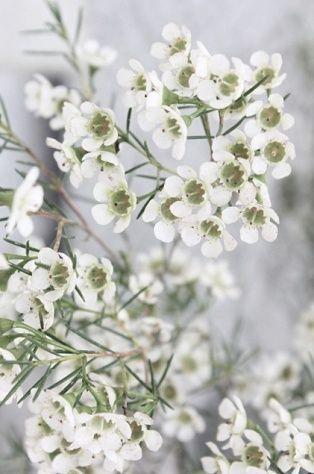 White waxflower google search pinterest flowers white waxflower google search mightylinksfo Choice Image