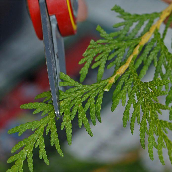 lebensbaum durch stecklinge vermehren hecke pflanzen stecklinge und obstb ume beschneiden