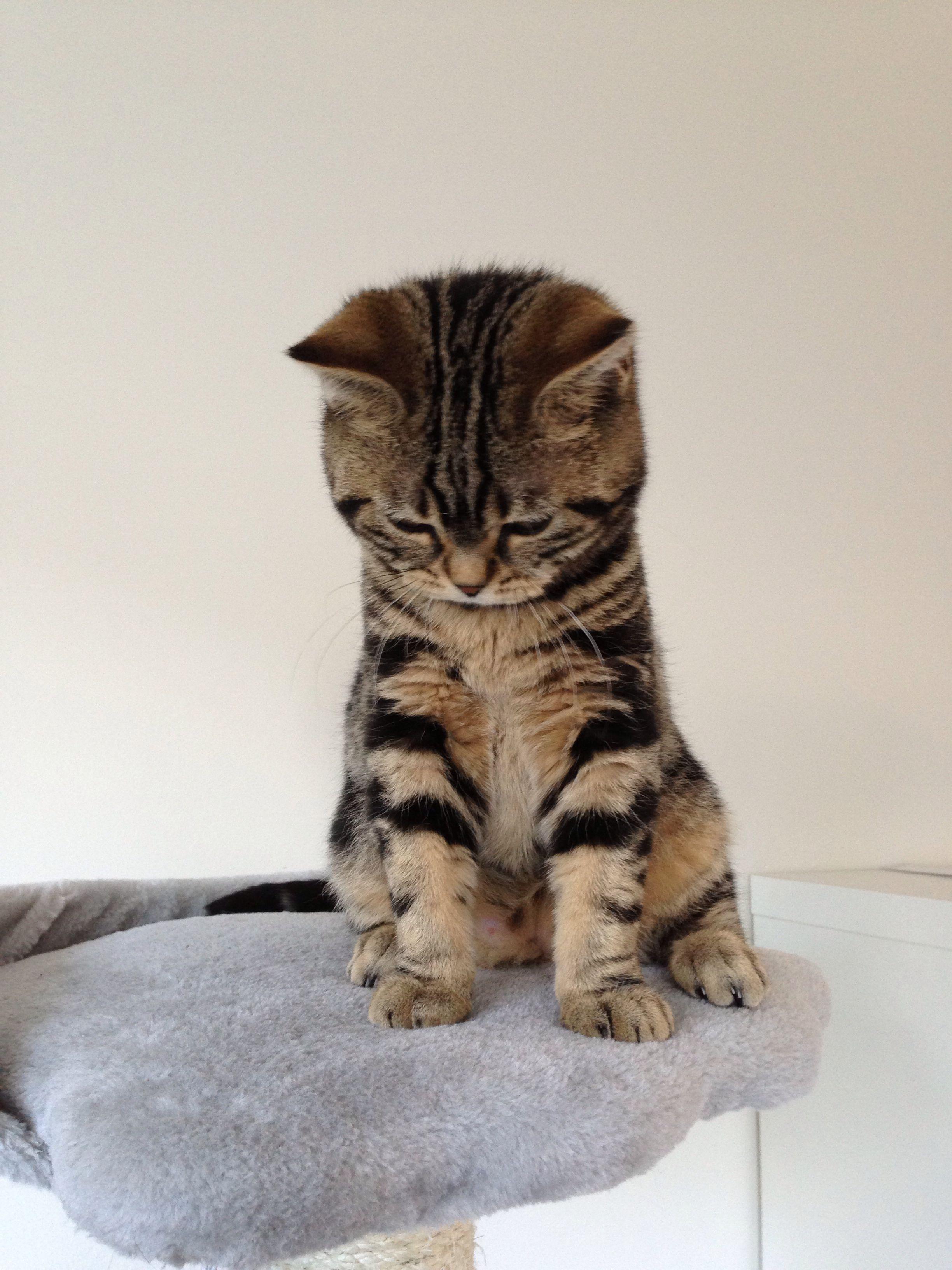 British Shorthair Brits Korthaar Kitten Cat Golden Tabby