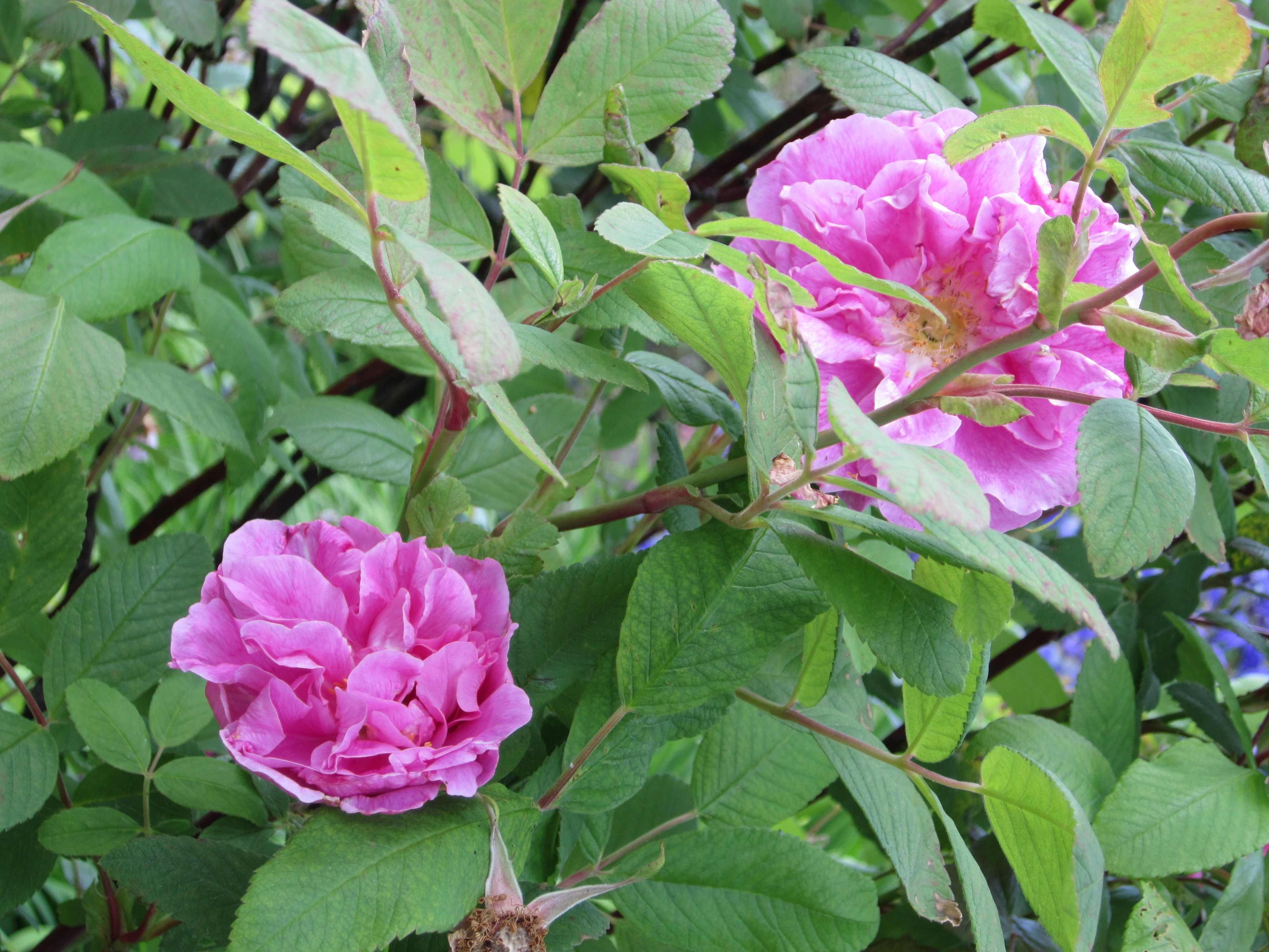 Rosa `Therese bugnet´