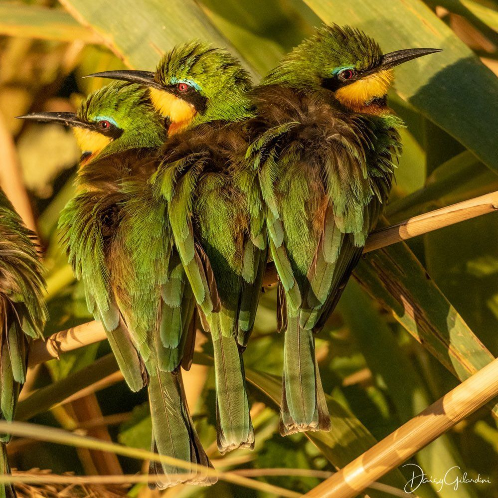 Nat Geo Wild On Instagram Photo By Daisygilardini Three Little Bee Eaters Huddle Together To Keep Warm On A Chill Nature Animals Passerine Bird Bee Eater