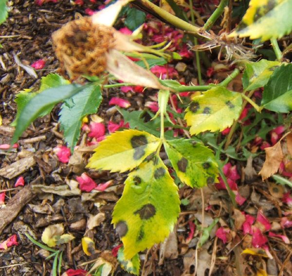 Flower Diseases Black Spots Yellow Leaves On Roses Yellow Leaves On Plants Black Spot On Roses