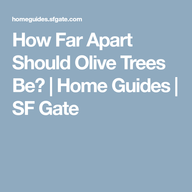 How Far Apart Should Olive Trees Be?