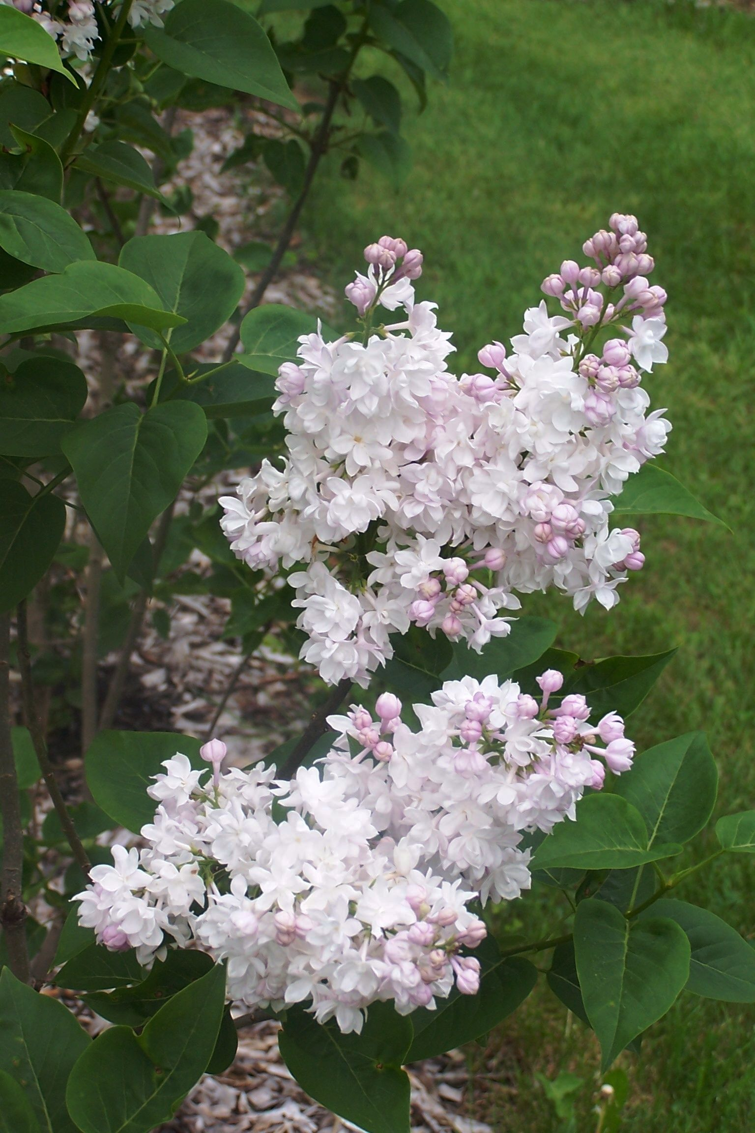 Medium Of Beauty Of Moscow Lilac