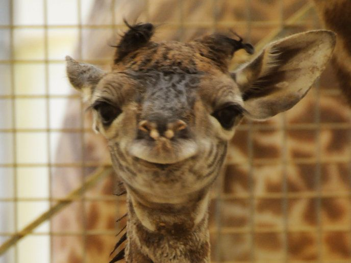 Close-up of giraffe calf face