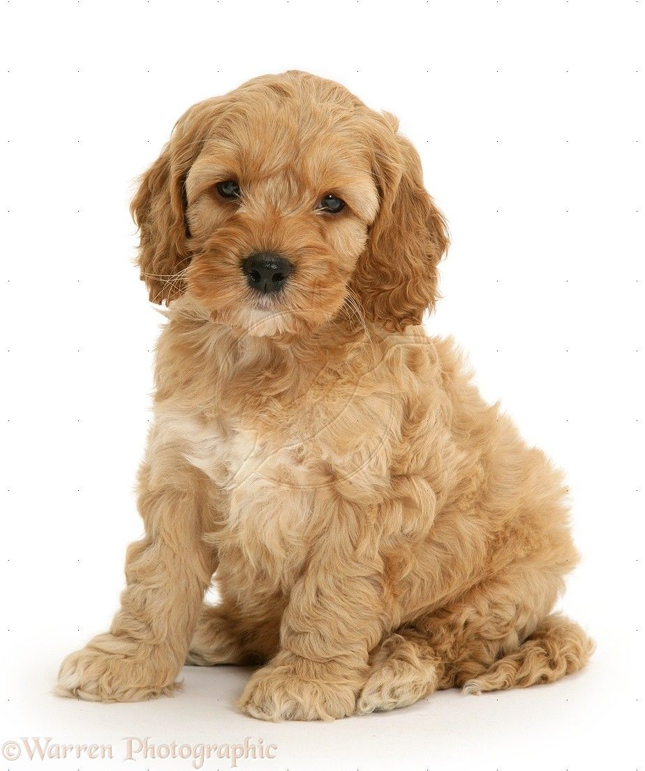 Dog American Cockapoo Pup Photo Cute Dogs Dog Breeds Puppy Images