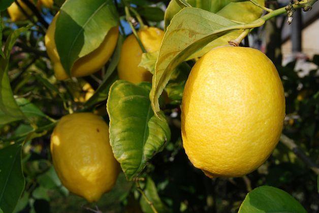 Come coltivare il limone in vaso qualche consiglio for Coltivare more in vaso