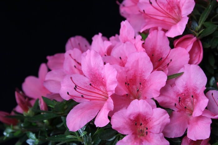 Azalea Flowers Care For Yourself And Those Around You Never Forget Where You Came From And Stay In Control Of Your Emot Azalea Flower Flower Meanings Flowers