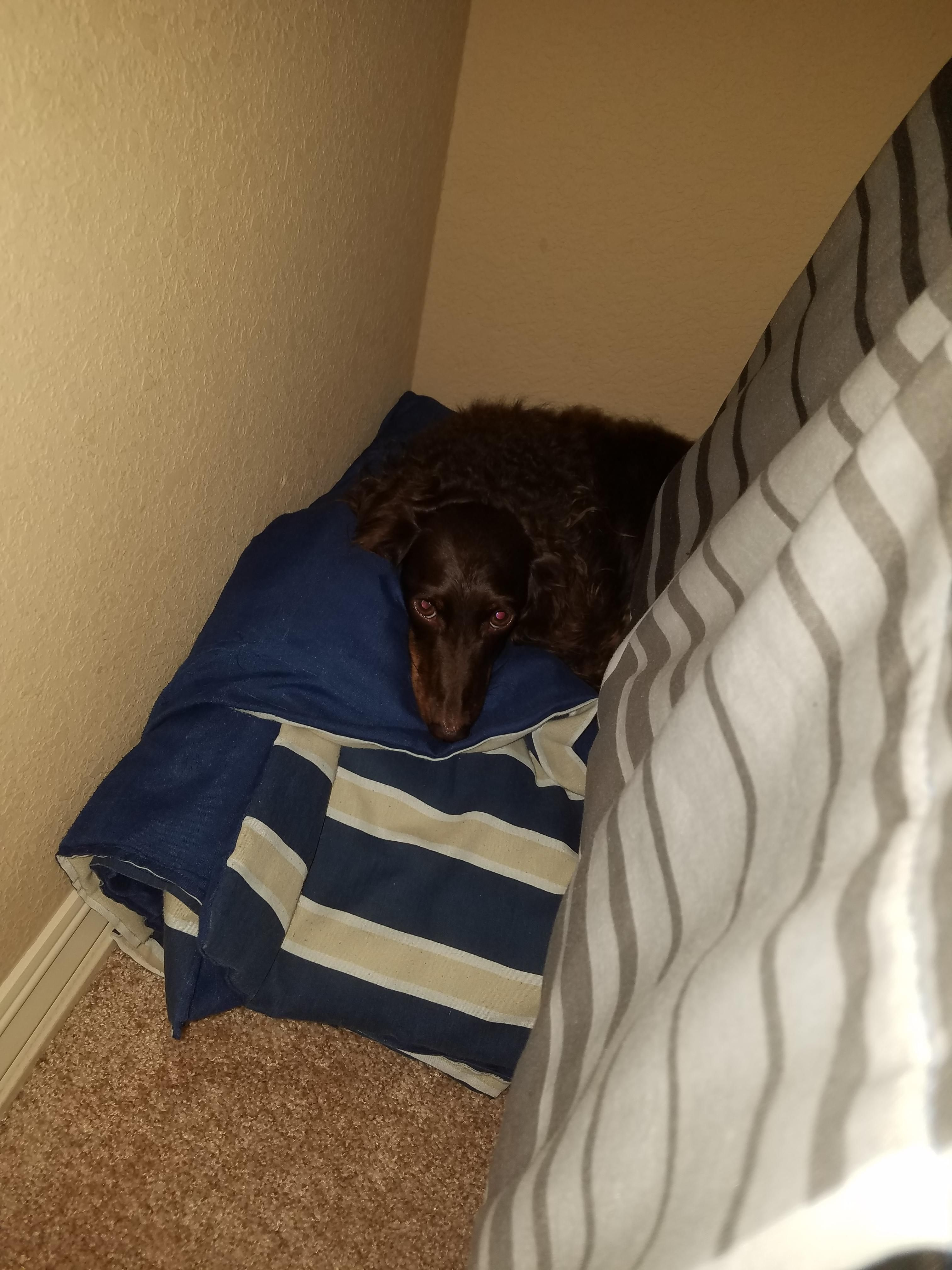 My Dog Is Trying To Hide From A Storm Under My Bed Dogs Dog
