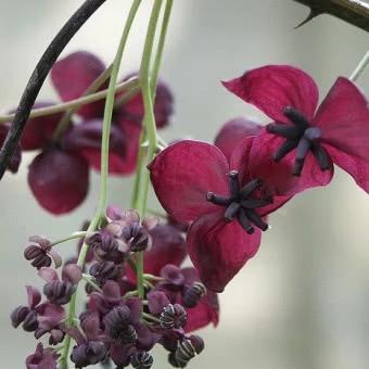 Pnacza Ozdobne Do Ogrodu Katalog Roslin Zielony Ogrodek Plants
