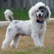 Abstract Poodle Love His Coat Beautiful Dogs Poodle